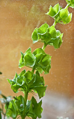Bells of Ireland Plant or Molucca balmis Shellflower