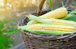 Fresh corn cobs in a basket