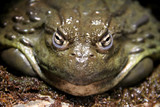 We Are Not Amused - Pompous Toad