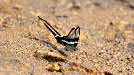Black and white butterfly on the ground filled with rocks.