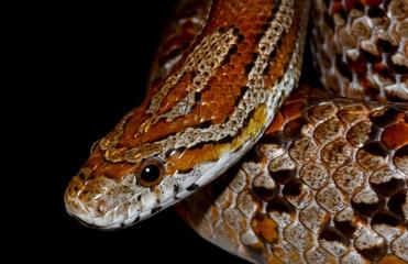 Snake isolated on black background