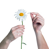Woman guesses on chamomile. Gir tears off petals of daisy