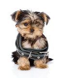 little Yorkshire Terrier  puppy wearing big collar. isolated