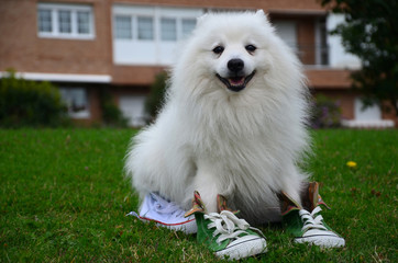 Japanese Spitz in sports shoes, close-up