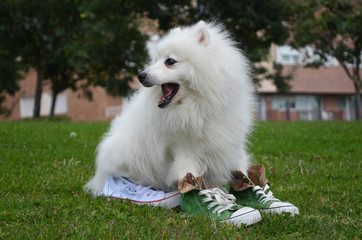 Japanese Spitz dog in sports shoes