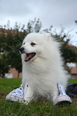 Japanese Spitz dog and white sneakers