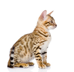 purebred bengal kitten. isolated on white background