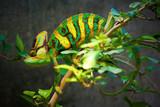 Fotoroleta Veiled chameleon