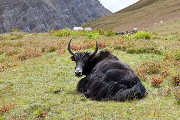 Yak on the grass, Nepal