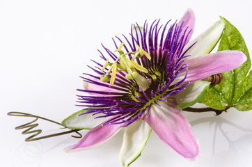 Passionsblume:  passiflora x belotti, Studioaufnahme