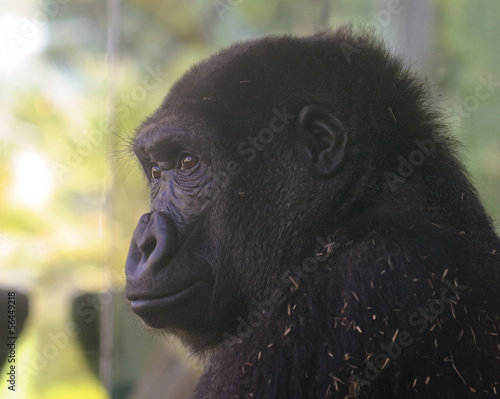 A Zoo Gorilla Watches from its Enclosure