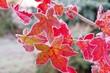 Amberbaum Raureif - sweetgum hoarfrost 01