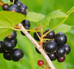 Johannisbeere schwarz - black currant 02