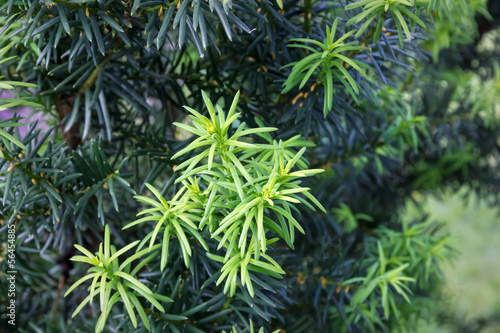 Yew tree (Taxus cuspidata). Young growing branch of Japanese yew