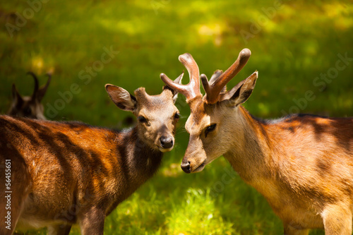 Two young deer