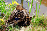 Wild Duck (Anas platyrhynchos), female with ducklings