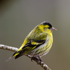 Siskin male on a twig