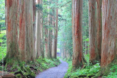 Cedar Avenue of Togakushi, Nagano, Japan