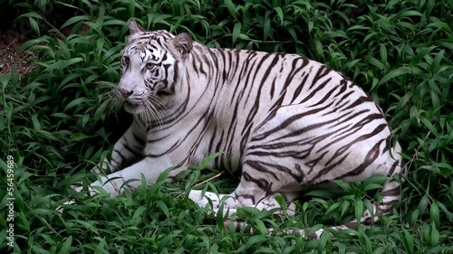 White albino tiger