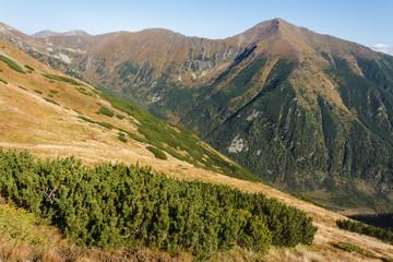 mountain pine growing in Western Tatras