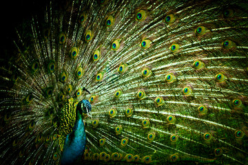 Peacock closeup on a background of feathers