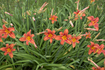 Day Lilies Full Bloom Row