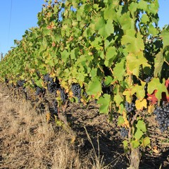vigne, grape, grappe de raisin, vignoble, vine
