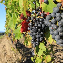 raisin, grappe, grape, harvesting time, vendanges
