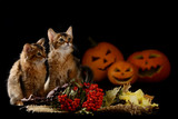 Scary halloween pumpkin and two somali kittens