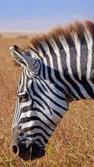 Zebra. Area de Conservacion Ngorongoro. Tanzania