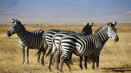 Zebras en Area de Conservacion Ngorongoro. Tanzania