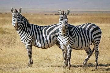 Zebras en el area de Conservacion Ngorongoro. Tanzania