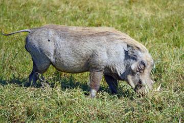 Jabali . Area de Conservacion Ngorongoro. Tanzania