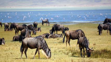 Manada de ñus en Area de Conservacion Ngorongoro. Tanzania