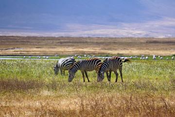 Zebras pastando en Area de Conservacion Ngorongoro. Tanzania