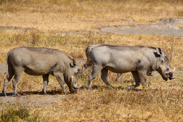 Dos jabalies . Area de Conservacion Ngorongoro. Tanzania