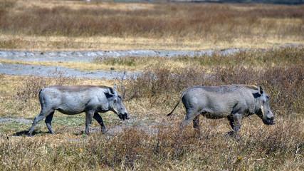 Jabalies en Area de Conservacion Ngorongoro. Tanzania