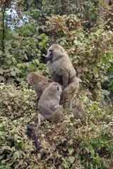 Dos babuinos en Area de Conservacion Ngorongoro. Tanzania