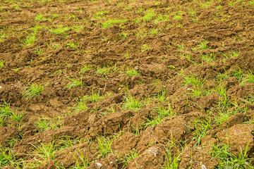 Szarvasi-1 Gras, Energiepflanze