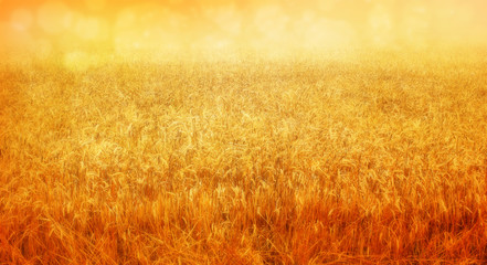 wheat field in august