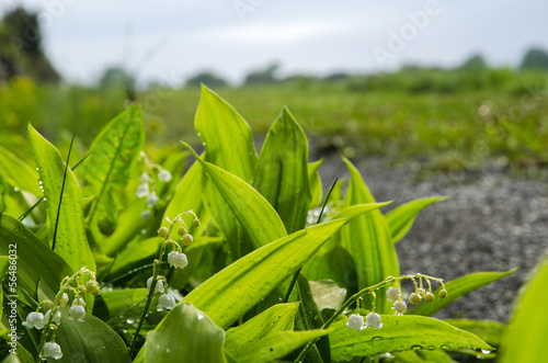 Papiers peints Muguet de mai Lily of the Valley with rain drops