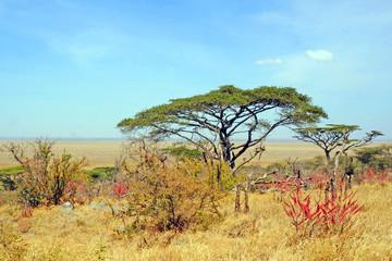 Vegetación en Serengeti. Kenya