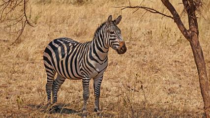 Cebra en el Serengeti. Tanzania