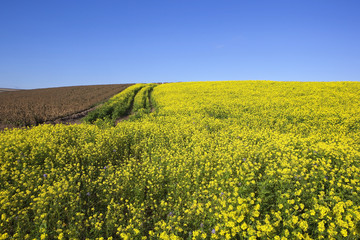 mustard and potato crops