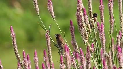 Scaly-Breasted Munia (Lonchura Punctulata) 2