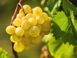 Bunch of ripe white grapes on a vine