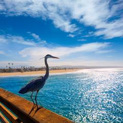 Blue Heron Ardea cinerea in Newport pier California