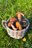 Mushrooms  boletus edulis in a basket