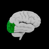 Occipital lobe - Human brain in side view