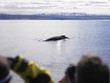 whale in iceland